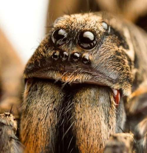 spiders_au_wolf2-994x1030[1].jpg